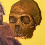 Fossile di Cranio